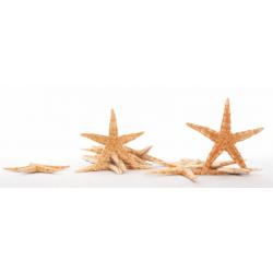 Etoile De Mer 8-10cm Par75