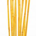 Wild Canna 100 cm Abricot