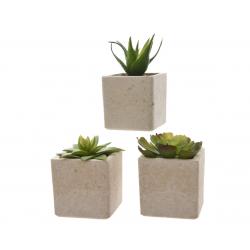 SIERRA - Plantes Grasses en Pot L5 x H7 cm
