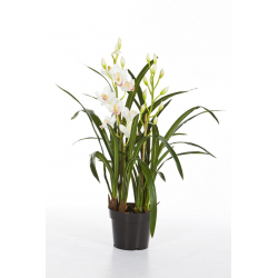 Cymbidium Pot 1m