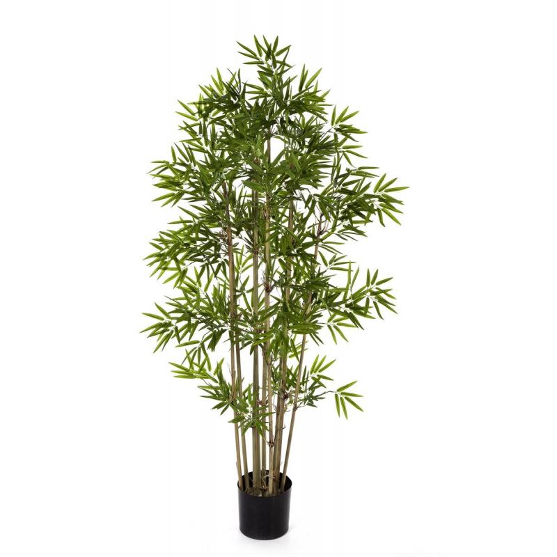 Bambou Japonais 1m40