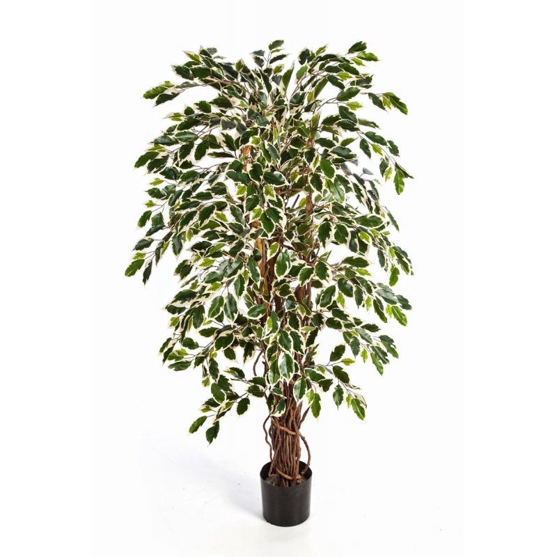 Ficus Liane Panaché 1m80