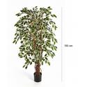 Ficus Liane Panaché 1.50m