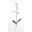 Orchidée Phalaenopsis Rose Pale
