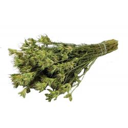 NIGELLA - Bouquet de Nigella séché Vert