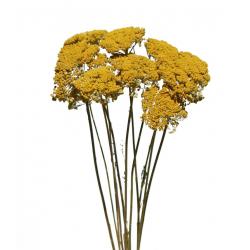ACH - Bouquet d'Achillea Séché Jaune