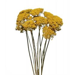ACH - Bouquet Achillea séché 70 gr H24 cm