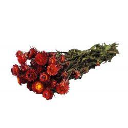 HELI - Bouquet Helichrysum séché Rouge