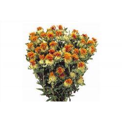 CARTHA - Bouquet Carthamus séché