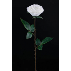 ROSA - Rose Ancienne 2...