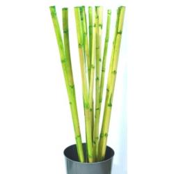 Bambou Canne 100 cm Vert par 13