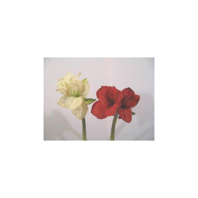 Amaryllis 2 fleurs h53 cm Blanc