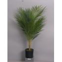 Palmier Phoenix 70 cm en pot