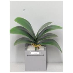 Feuilles de Phalaenopsis GM 29 cm par 7